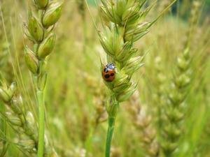 小麦テントウムシ2.JPG